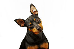 Pincher. Sitting in front of white background Royalty Free Stock Photography