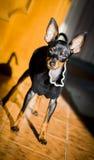 Pincher dell'Asia del cane Immagine Stock Libera da Diritti