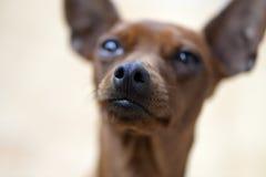 Pincher dog breed Stock Photo