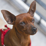 Pincher dog breed Royalty Free Stock Image