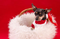 Pincher dog in Christmas basket Stock Photo
