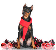 Pincher dog with christmas decor Stock Images