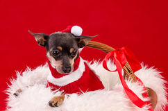 Pincher dog for Christmas Stock Image