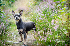 Pincher dog in forest Royalty Free Stock Images