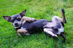 Pincher dog on the grass Royalty Free Stock Photos