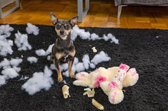 Pincher dog with his victim Stock Photos