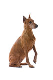 Pincher dog isolated on white Royalty Free Stock Photography