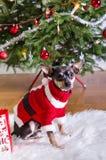 Pincher dog like a Xmas present Royalty Free Stock Photo