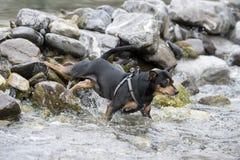 Pincher dog playing Royalty Free Stock Image