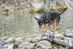 Pincher dog playing Royalty Free Stock Photography