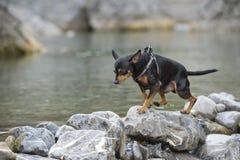 Pincher dog playing Stock Photos