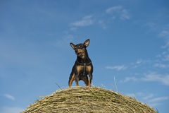 Pincher dog playing Royalty Free Stock Images