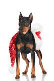 Pincher dog with santa hat. Black pincher dog on white Royalty Free Stock Photos