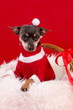 Pincher dog in Xmas colors Royalty Free Stock Photography