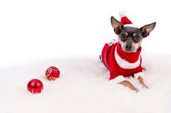 Pincher-Hund bereit zum Weihnachten Stockfotografie