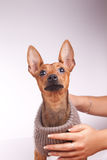 Pincher looking up. Cute miniature pincher in sweater in studio Stock Photos