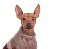 Pincher miniatura en suéter Imagen de archivo libre de regalías