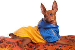 Pincher on pillow. Little miniature pincher in jacket  on pillow Royalty Free Stock Photo