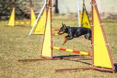 Funny Pincher Pinscher jump over a hurdle. Pincher Pinscher jumping through a barrier outdoor Royalty Free Stock Photos