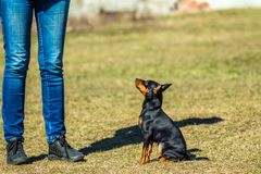 Small Pincher Pinscher sitting and looking at his mistress. Pincher Pinscher puppy sitting on the grass near the hostess at the training Royalty Free Stock Images