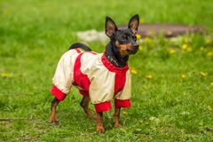 Beautiful Pincher Pinscher standing on grass outdoors in a jacke. Pincher Pinscher standing on green grass in a fun beautiful white red sweater Royalty Free Stock Photos