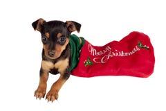 Pincher puppy Stock Photos