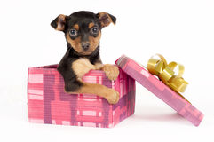 Pincher puppy in a Christmas gift box. Royalty Free Stock Images