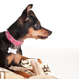 Pincher puppy on a pillow Stock Photography