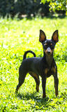 Pinscher puppy waiting Royalty Free Stock Photos