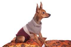 Pincher sitting on pillow Stock Photo