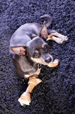 Pincher with a toy bone. Pincher dog portrait with his toy bone Stock Photos