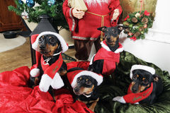 Pinchers, pets wishing merry christmas. Miniture pinchers, dogs, wishing merry christmas, dressed in santa claus outfits Royalty Free Stock Photography