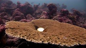 Pinctada margaritifera sul fondale marino stupefacente subacqueo del acropora di corallo in Maldive video d archivio