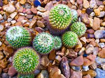 Pincushion Cacti. Small patch of Pincushion Cacti Royalty Free Stock Photography
