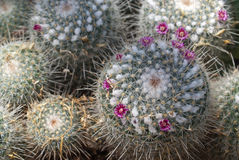 Pincushion Cactus in Bloom Royalty Free Stock Image