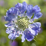Pincushion Flower. A pincushion flower, otherwise know as scabiosa, growing in the home garden Stock Photo