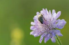Pincushion flower. Bee collecting honey from pincushion flower Stock Photo
