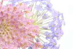 Pincushion flowers Stock Images