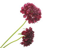 Pincushion flowers. Pictured pincushion flowers in a white background Royalty Free Stock Photography