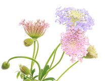 Pincushion flowers Stock Image