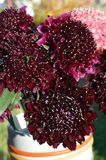 Salmon Queen Black Pompom Black Knight pincushion flower bouquet closeup royalty free stock images