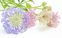 Pincushion flowers in a white background Stock Photography