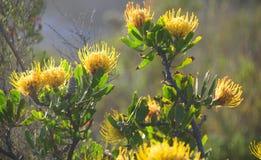 Pincushion Fynbos - семья Protea Стоковое Изображение RF