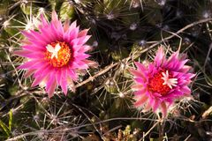Pincushion kaktus w wczesnym poranku przy Dużym kamieniem NWR zdjęcie royalty free