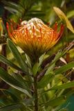 Pincushion Leucospermum cordifolium Stock Images