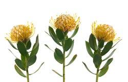 Pincushion Protea. Isolated on white background Royalty Free Stock Photos