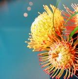 PIncushion protea. Yellow pincushion protea flower in Maui Stock Image