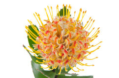 Pincushion Protea. Closeup isolated on white background Stock Images