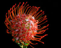 pincushion protea Obrazy Royalty Free