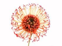Pincushion Protea στοκ φωτογραφίες
